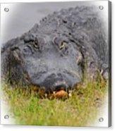 Big Boy Gator 2 Acrylic Print
