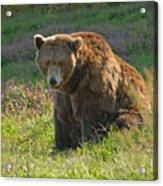 Big Brown Bear Acrylic Print