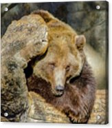 Big Brown Bear Acrylic Print
