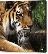 Big Cat Acrylic Print