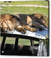 Big Cat Nap Acrylic Print