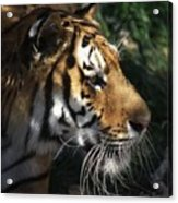 Big Cat No 60 Acrylic Print