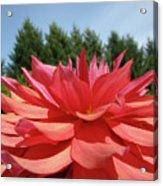 Big Dahlia Flower Blooming Summer Floral Art Prints Baslee Troutman Acrylic Print