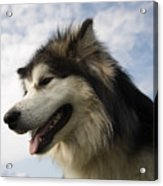 Big Dog Acrylic Print