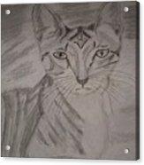 Big Ears Kitten Acrylic Print
