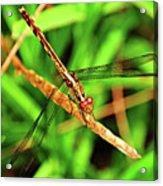 Big Eyed Dragonfly Acrylic Print