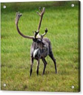 Big Horn Acrylic Print