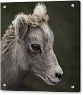 Big Horn Lamb Acrylic Print