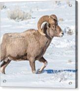 Big-horn Ram In Winter Acrylic Print