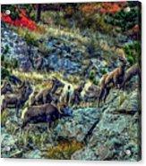 Big Horn Sheep - Close-up Acrylic Print