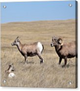 Big Horn Sheep Family Acrylic Print