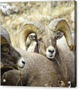Big Horn Sheep Grazing Acrylic Print