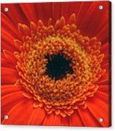 Big Orange Daisey Acrylic Print
