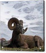 Big Ram Acrylic Print