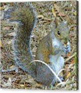 Big Tail Little Nut Acrylic Print