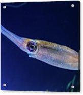 Bigfin Reef Squid Acrylic Print