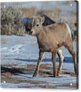 Bighorn Lamb 2 Acrylic Print
