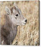 Bighorn Lamb Acrylic Print