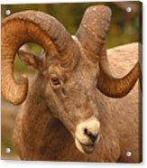 Bighorn Ram With Evident Disdain Acrylic Print