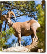 Bighorn Sheep In The San Isabel National Forest Acrylic Print