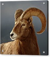 Bighorn Sheep In Winter Acrylic Print