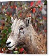 Bighorn Sheep Acrylic Print
