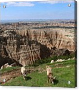 Bighorn Sheeps At Sage Creek Acrylic Print