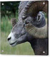 Bighorned Ram Acrylic Print