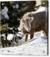 Bighorned Yearling - King Of The Hill Acrylic Print