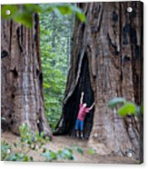 Bill Looking Up At The Sequioas Trees Acrylic Print
