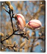 Biltmore Cherry Blossom Acrylic Print