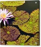 Biltmore Lily  Acrylic Print