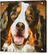 Bimbo - Bernese Mountain Dog Acrylic Print