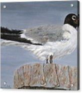 Bimini Gull Acrylic Print
