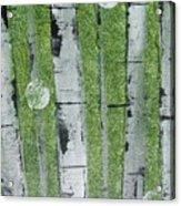 Birch - Green 1 Acrylic Print by Jacqueline Athmann