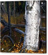 Birch Autumn 3 Acrylic Print