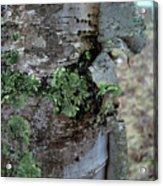 Birch Bark 1 Acrylic Print