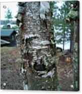 Birch Bark 3 Acrylic Print