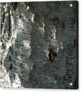 Birch Bark In Sun And Shadow Acrylic Print