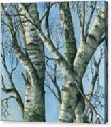 Birch Eye View Acrylic Print
