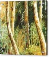 Birch Forest Acrylic Print