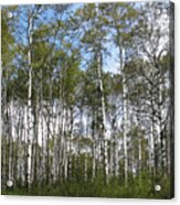 Birch Forest Acrylic Print