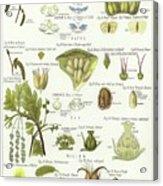 Birch, Hazel, Oak, And Willow Acrylic Print
