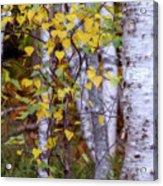 Birch In Autumn Acrylic Print