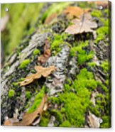Birch Log Acrylic Print