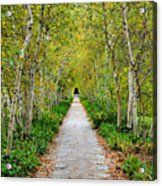Birch Pathway Perspective Acrylic Print