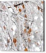 Frost Birch  Acrylic Print