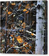 Birch Tree In Winter Acrylic Print
