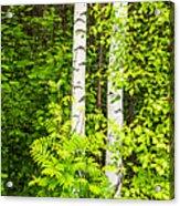 Birch Tree Panorama Acrylic Print