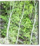Birch Trees Abstract Acrylic Print